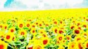 Sonnenblumen ( 3)klein